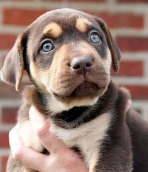 Cool Cute Puppy Blue Eye Adorable Dog - eb5984b58376c98866bf532cc595255b  Gallery_3197  .jpg
