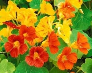 Nasturtiums - great companion for cucumbers and completely edible by hope