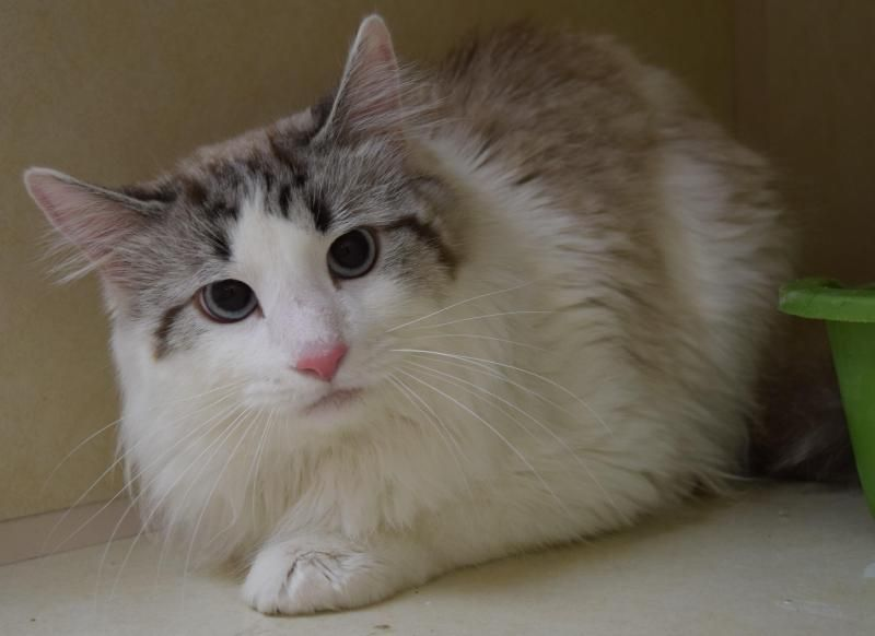Maine Coon Kittens Ohio For Adoption