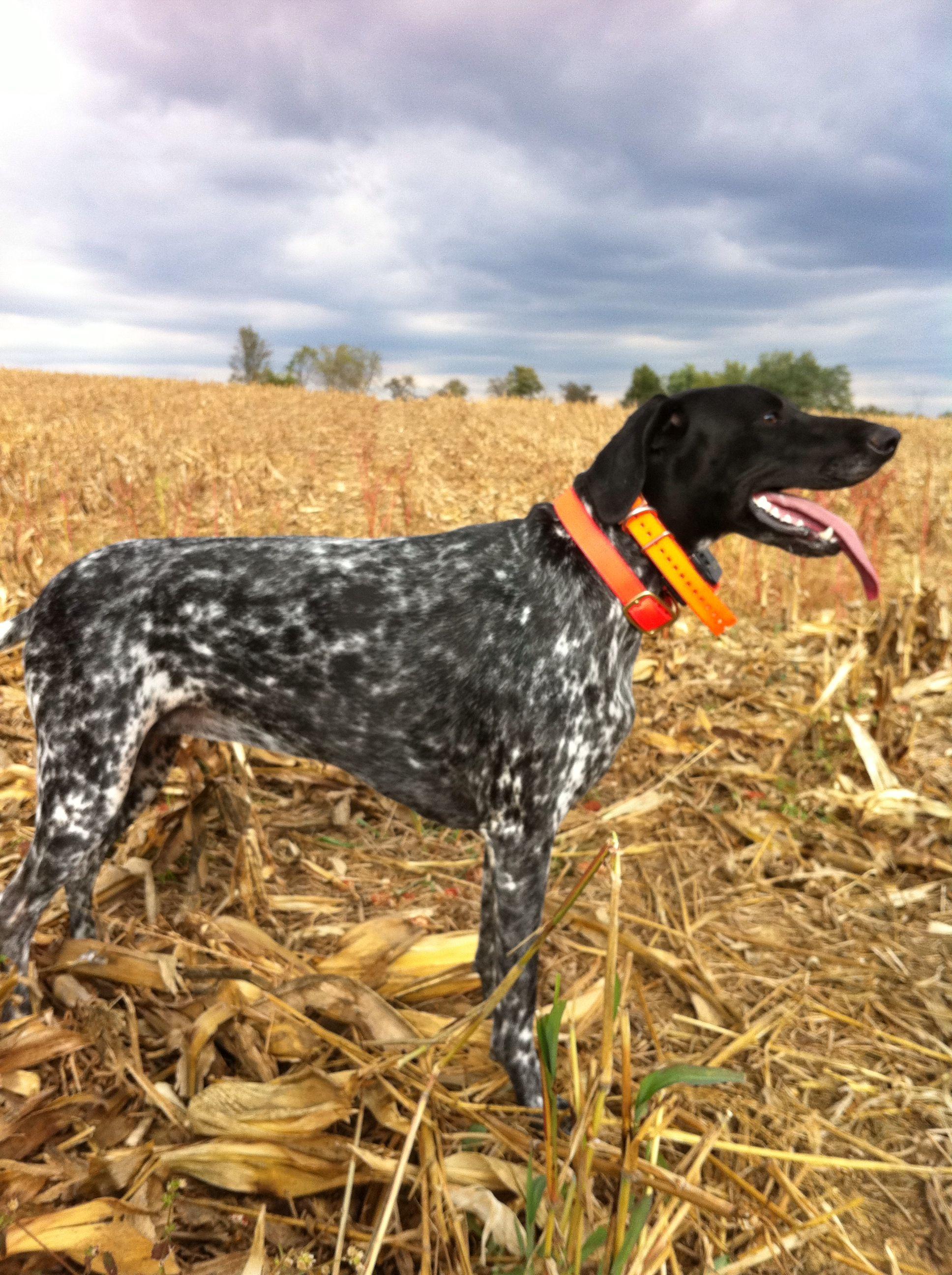 Dove Hunting #germanshorthairpointer #huntingdogs #Dottie