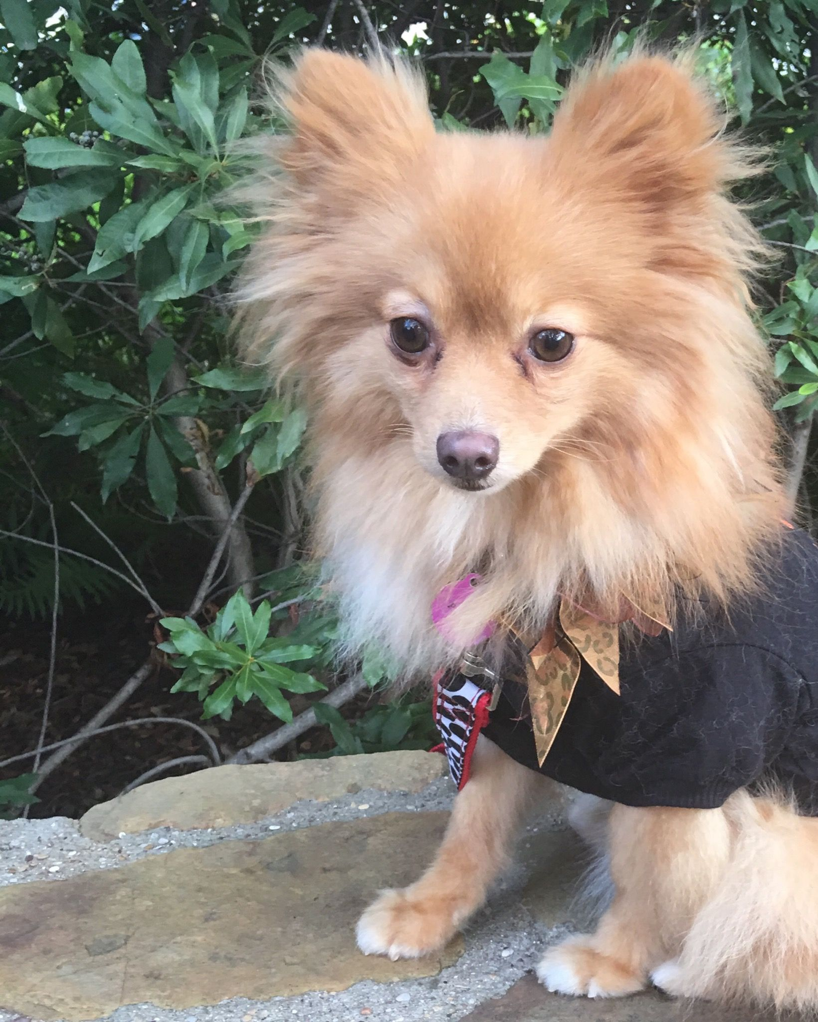 Pomeranian Dog For Adoption In Garland Tx Adn 714408 On Puppyfinder Com Gender Male Age Young Pomeranian Dog Dog Adoption Dogs