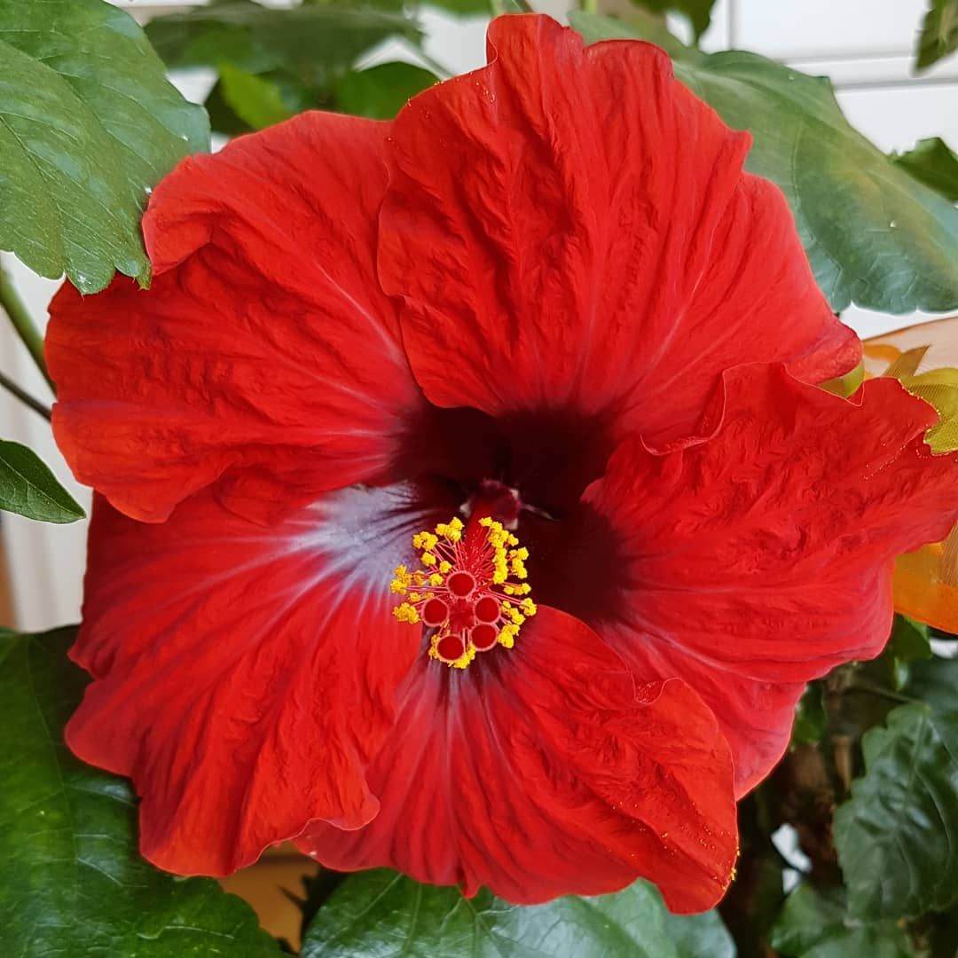 Hibiscus Beautiful Red Flower Flowers Hibiskus Wunderschon Rot Blumen Blume Bluten Blute Hibiscus Beautiful Red Flower Hibiscus Flowers Rose