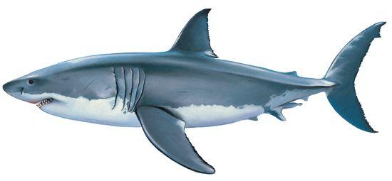 Requin blanc deco section mer pinterest requins animaux marins et id e dessin - Requin en dessin ...