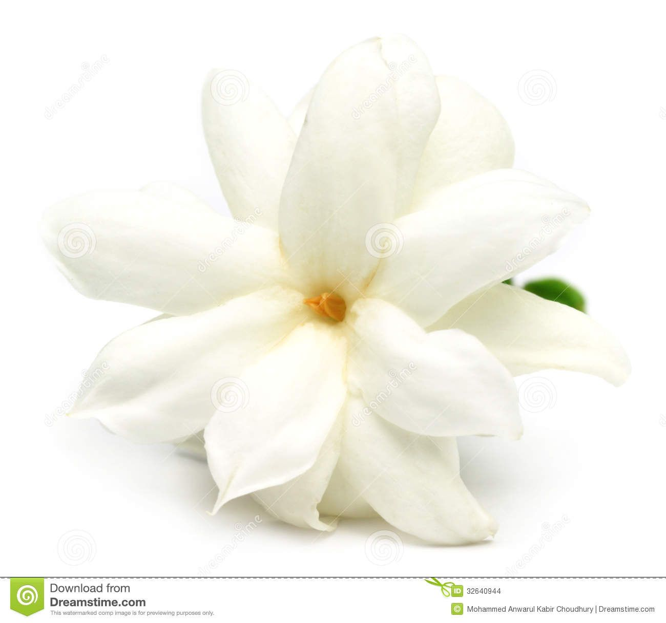Jasmine Flower Stock Images - Image: 32640944