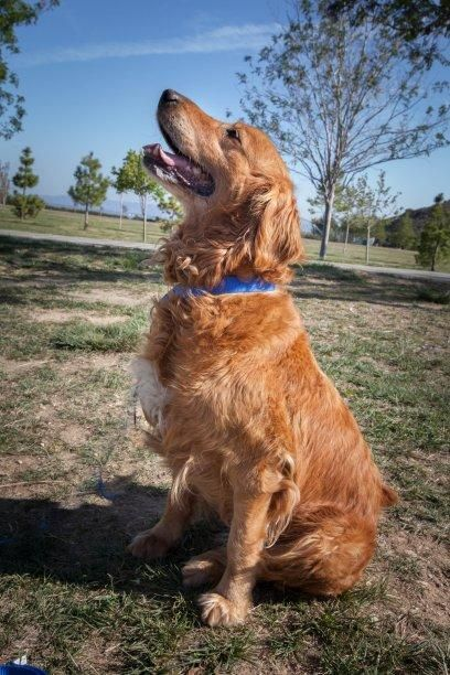 Adopt Muffy On Dogs Golden Retriever Dogs Pets