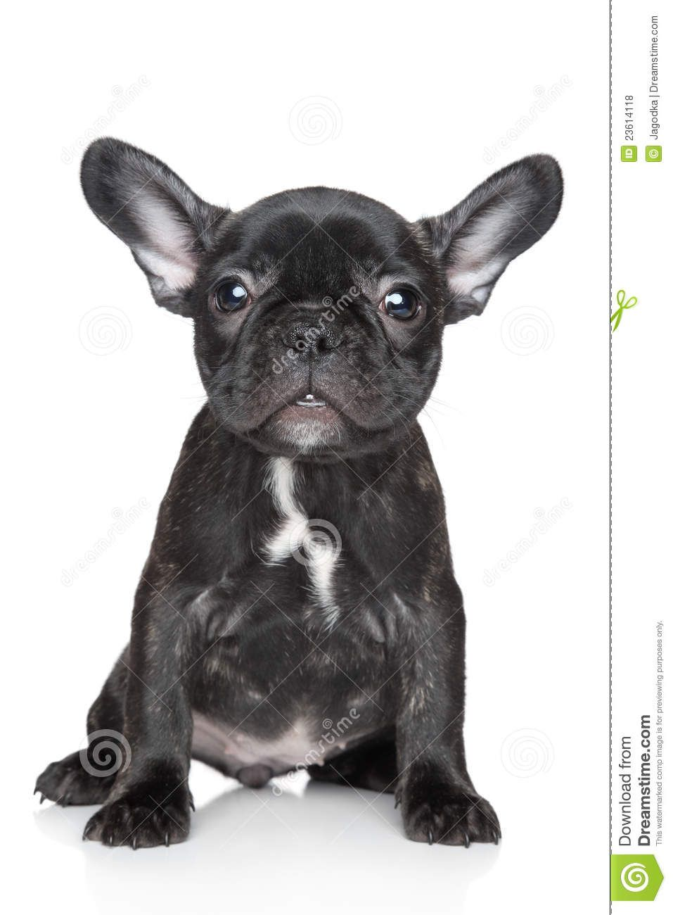 French Bulldog Puppy Sits On A White Background French Bulldog Puppy Black Bulldog Puppies French Bulldog Puppies