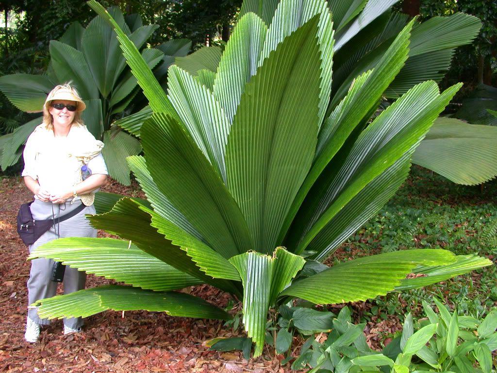 Palme Da Vaso Per Esterno joey palm - johannesteijsmannia altifrons, 10-20'h, 1-5'w