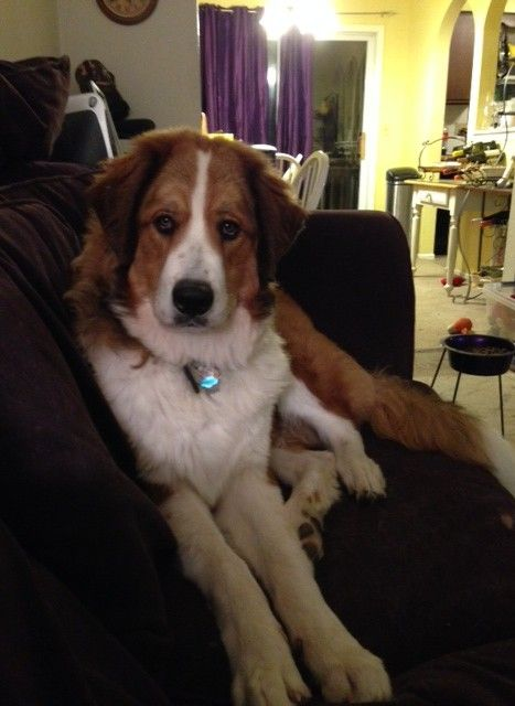 Great Bernese Great Pyrenees And Bernese Mountain Dog Also Call