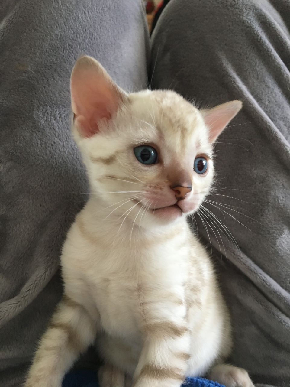 Show/Queen quality Snow Lynx Point Bengal kitten. Bengal