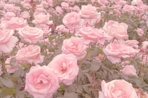 Imagem De Pink Flowers And Rose