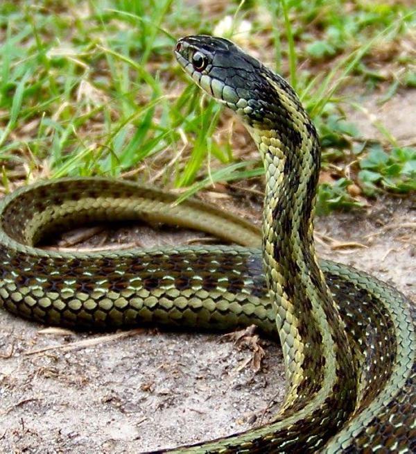 Snake Pictures Design Press 30 Amazing Garter Snake