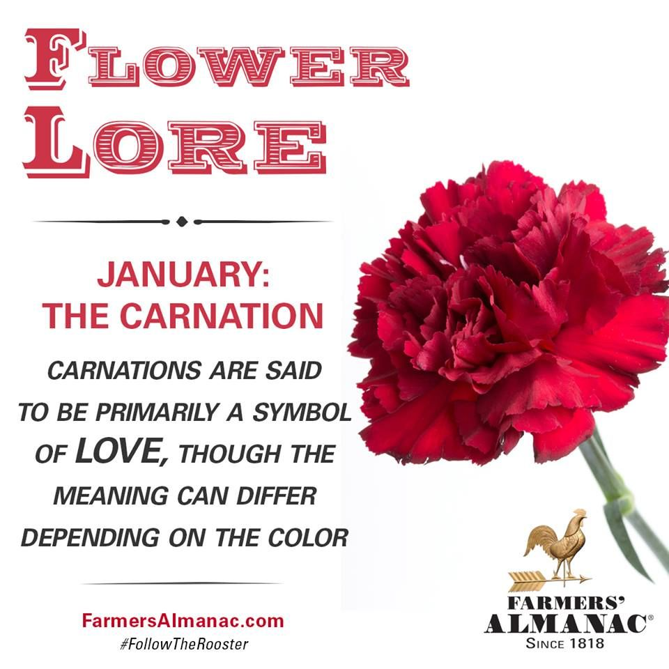 Flower Lore - January: Carnation | Zodiac Flowers/Months Signs ...