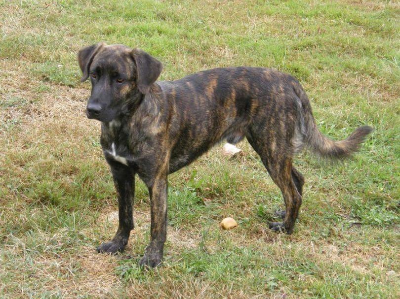 Brindle Dog Dog Breeds Scary Dogs Popular Dog Breeds
