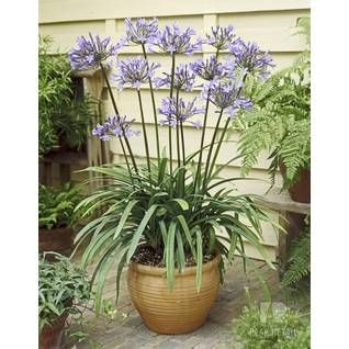 Encyklopedia Roslin W Leroy Merlin Lily Plants Agapanthus In Pots Agapanthus