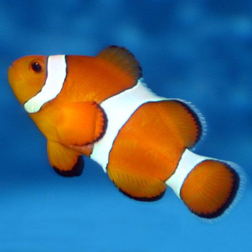 Ocellaris Clownfish Amphiprion Ocellaris Clown Fish Fish Aquarium Fish Tank