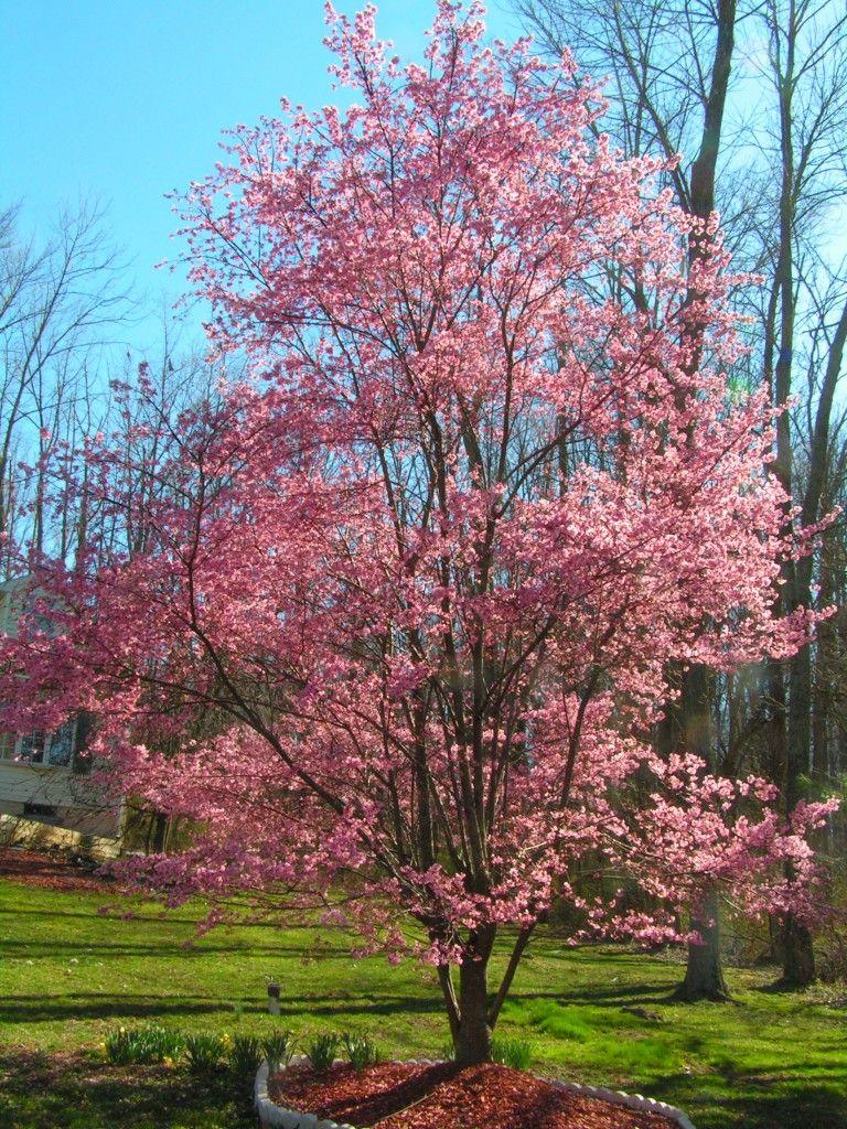 Okame Cherry Tree In Bloom 4 2 06 Pennsylvania Flowering Cherry Tree Ornamental Cherry Flowering Trees