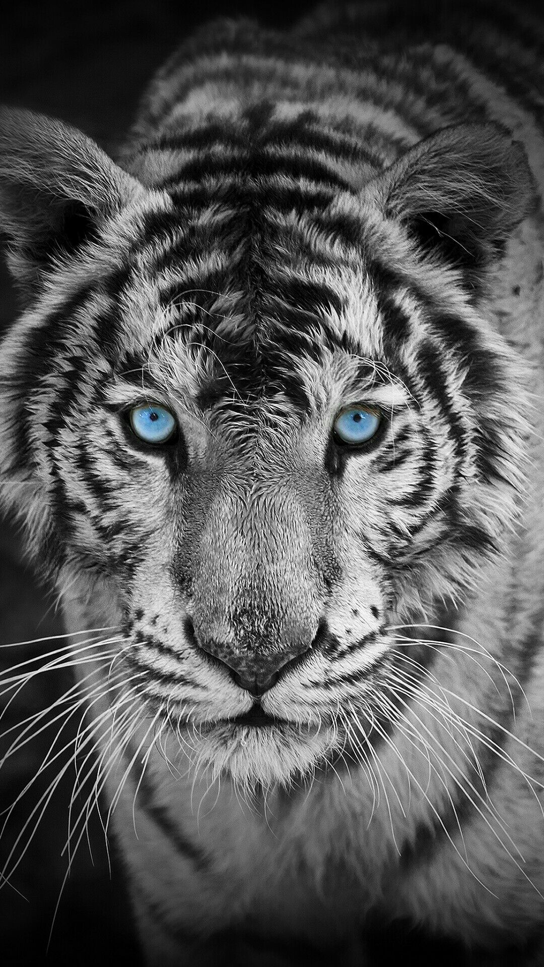 Black And White Tiger Background Tiger Wallpaper Tiger Pictures Animal Wallpaper