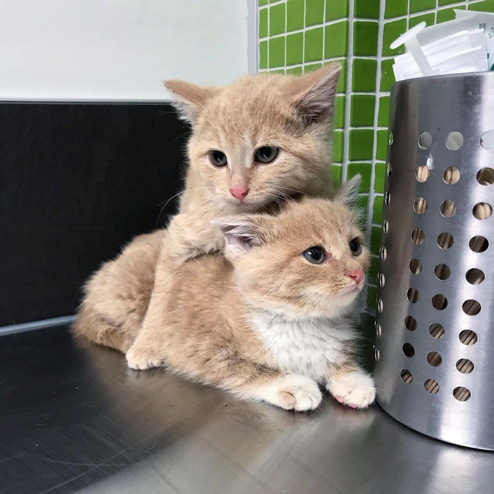 Kittens Found Wandering Into Workplace Together Won T Leave Each Other S Side Animal Shelters Near Me Kittens Animal Shelters Near Me Baby Animals