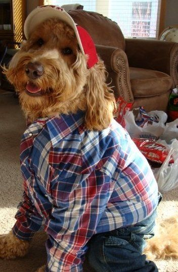 Spencer The Goldendoodle Dressed Up As A Farmer For His