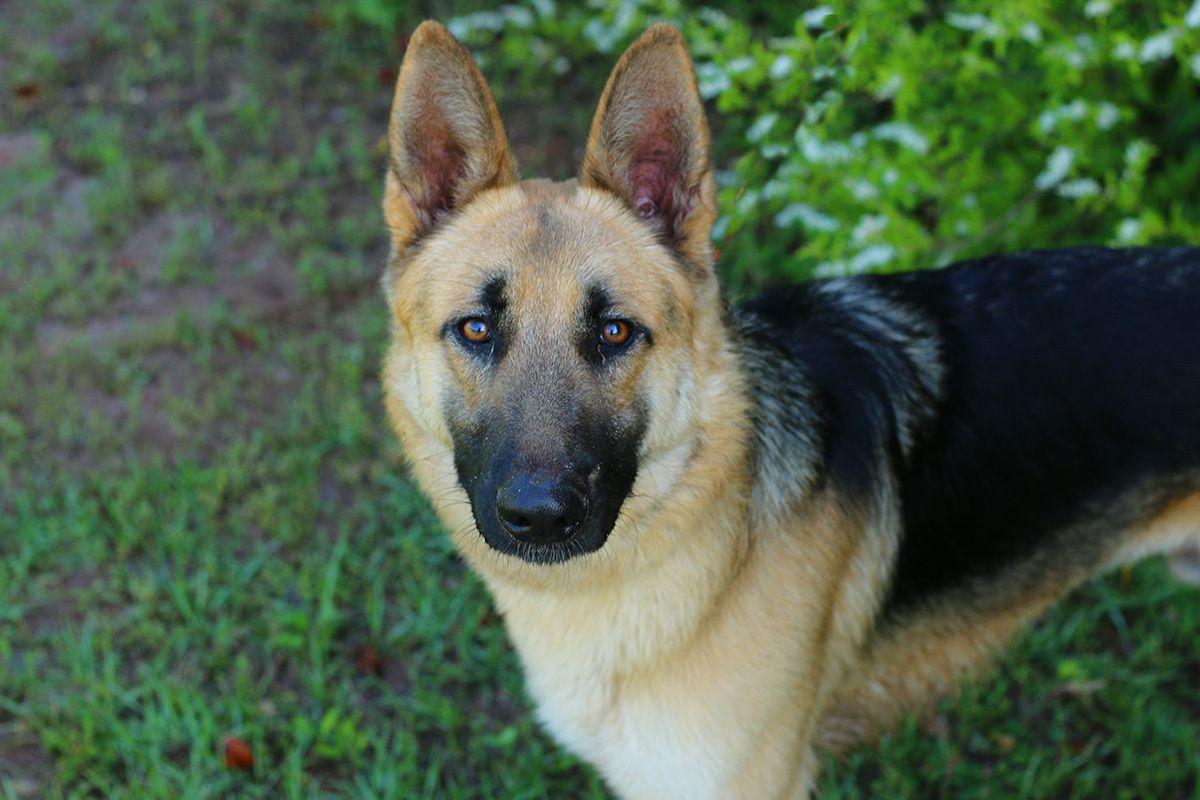 Adopt Max On Petfinder German Shepherd German Shepherd Rescue German Shepherd Dogs