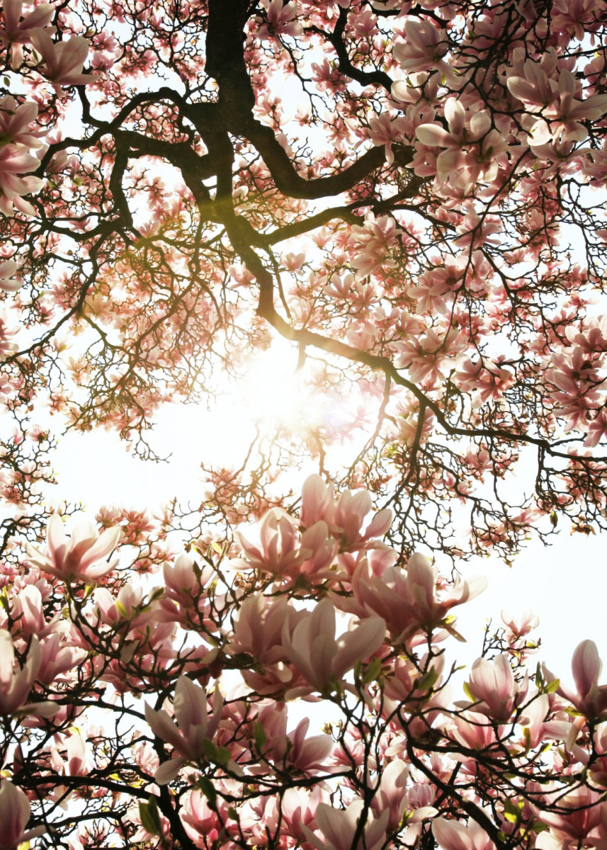 Cherry Blossom Tree Metal Poster Bear Amber Art Displate In 2020 Spring Wallpaper Cherry Blossom Wallpaper Blossom Trees
