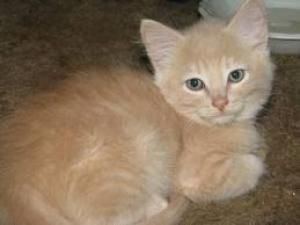 Adopt Berlin On Petfinder Cute Cats Cats Kitty
