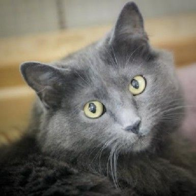 20 Most Popular Long Haired Cat Breeds Samoreals Russian Blue Cat Russian Blue Blue Cats