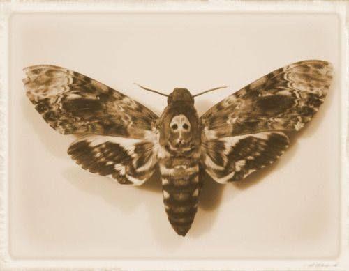 Papillon tête de mort ..