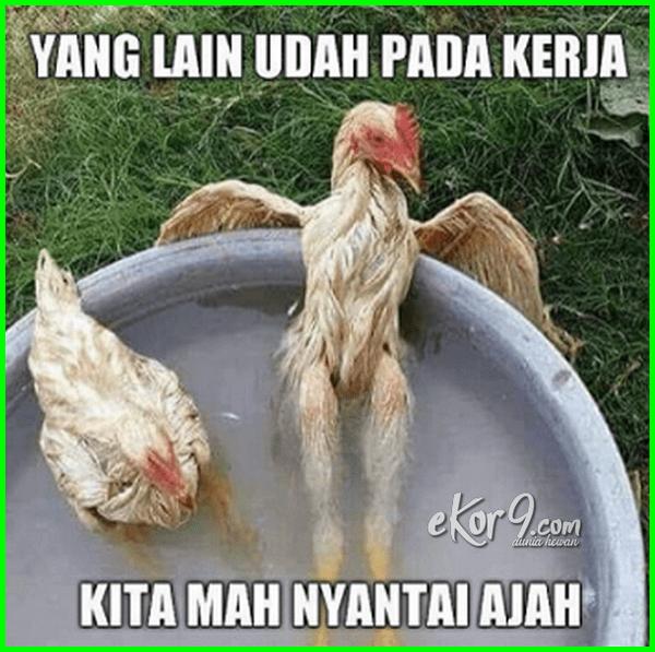 7 Gambar Ayam dan Tulisan KataKata Lucu Foto lucu, Ayam