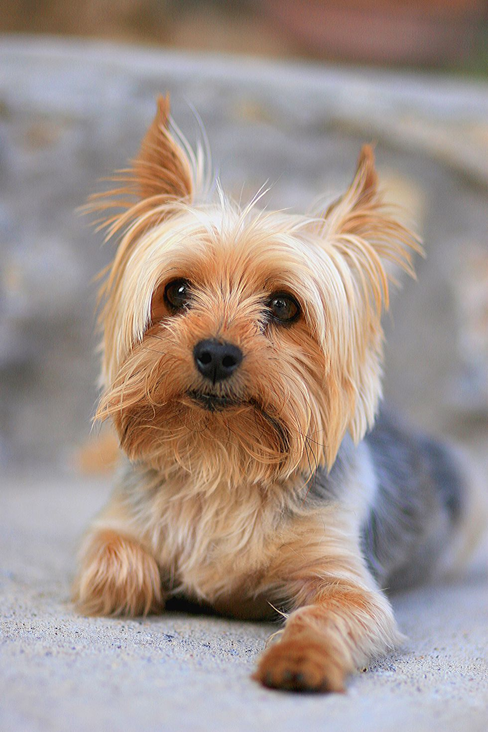 The 20 Cutest Dog Breeds That Don T Shed Yorkies Pinterest