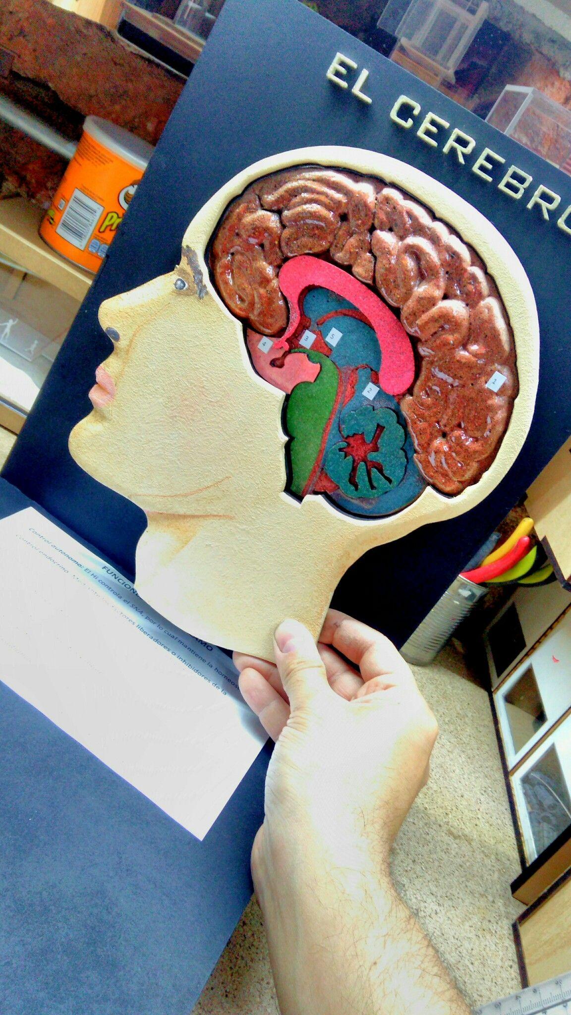 Partes de cerebro (Maquetas) | idea de maqueta | Pinterest ...