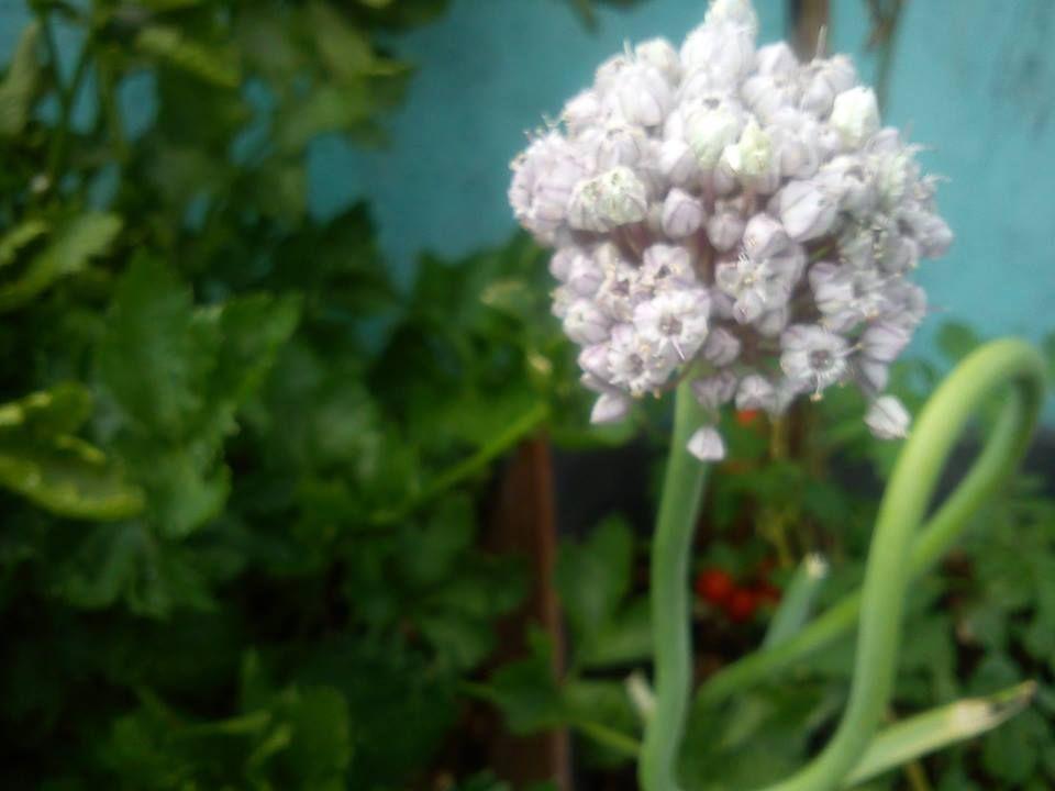 flor alho poró