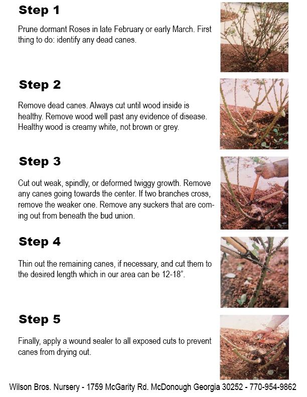 Found On Bing From Www Ecoturfco Com Pruning Roses Hybrid Tea Roses Rose Trees