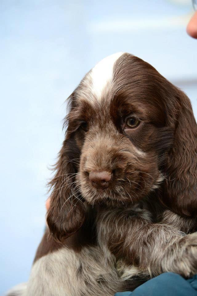 Sweet Chocolate Roan Cocker Spaniel Schattige Puppies Hond Kat Hondjes