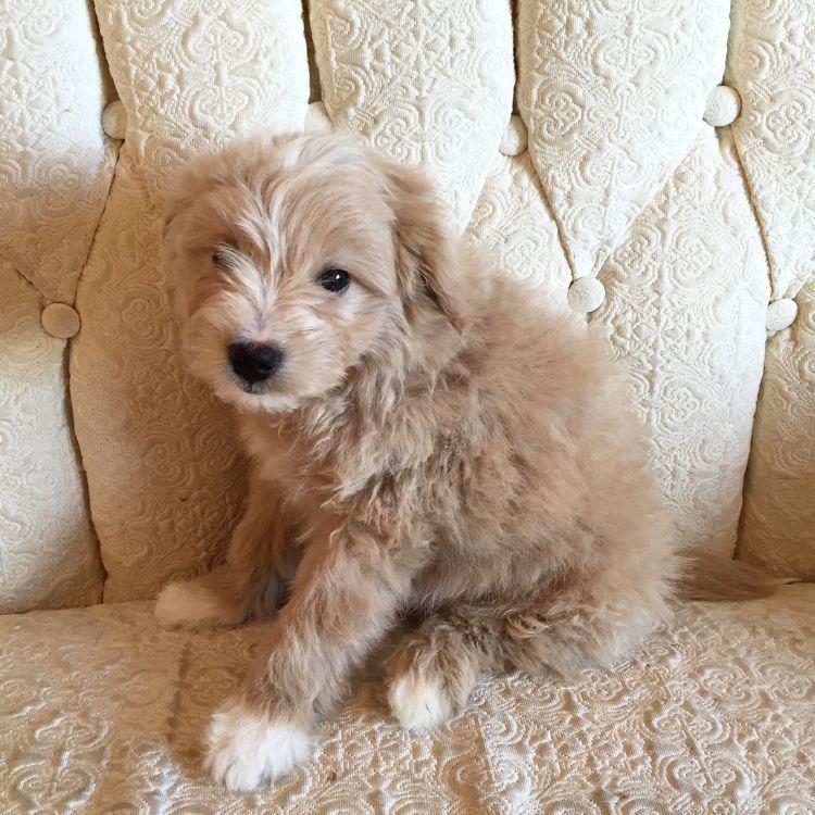 Bridget Beth Hypoallergenic Dog Breed Miniature American Eskimo American Eskimo Dog