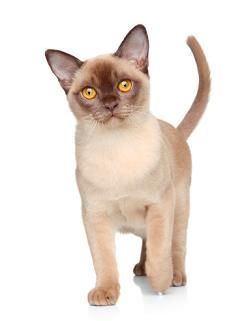 European And American Burmese Cats A Controversy Westport Graphics Burmese Cat Cat Breeds Tonkinese Cat