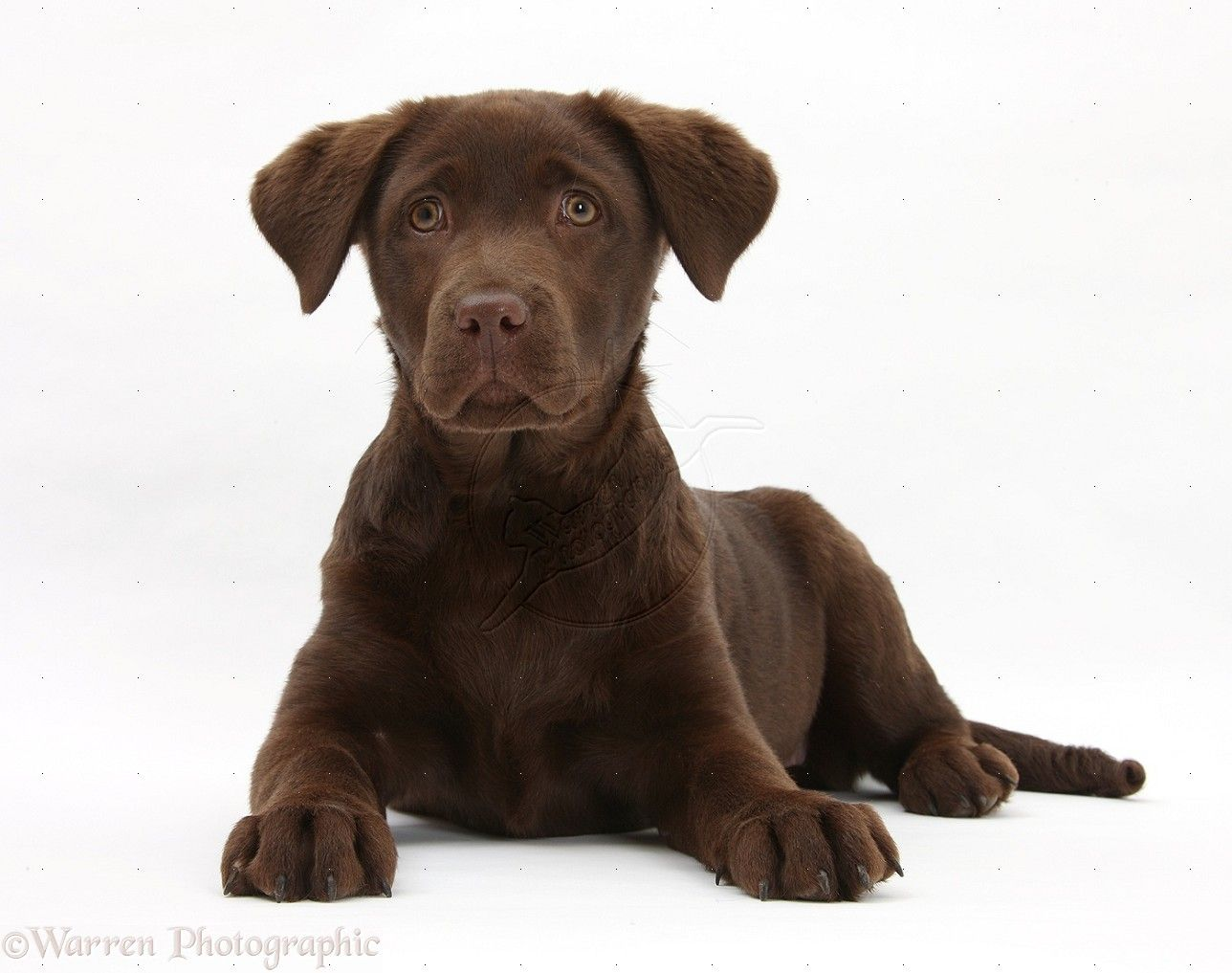 Brown Dog That Looks Like A Lab