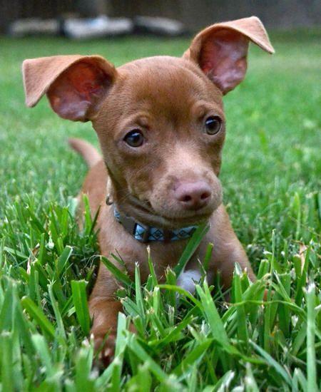Chihuahua Terrier Dachshund Chihuahua Terrier Cute Chihuahua
