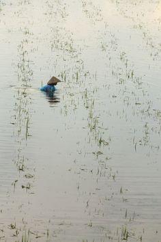 Rice field in Ninh Binh, Vietnam
