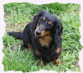 Dachshund Puppies For Sale Nc Dachshund Breeder Ncomg Is This
