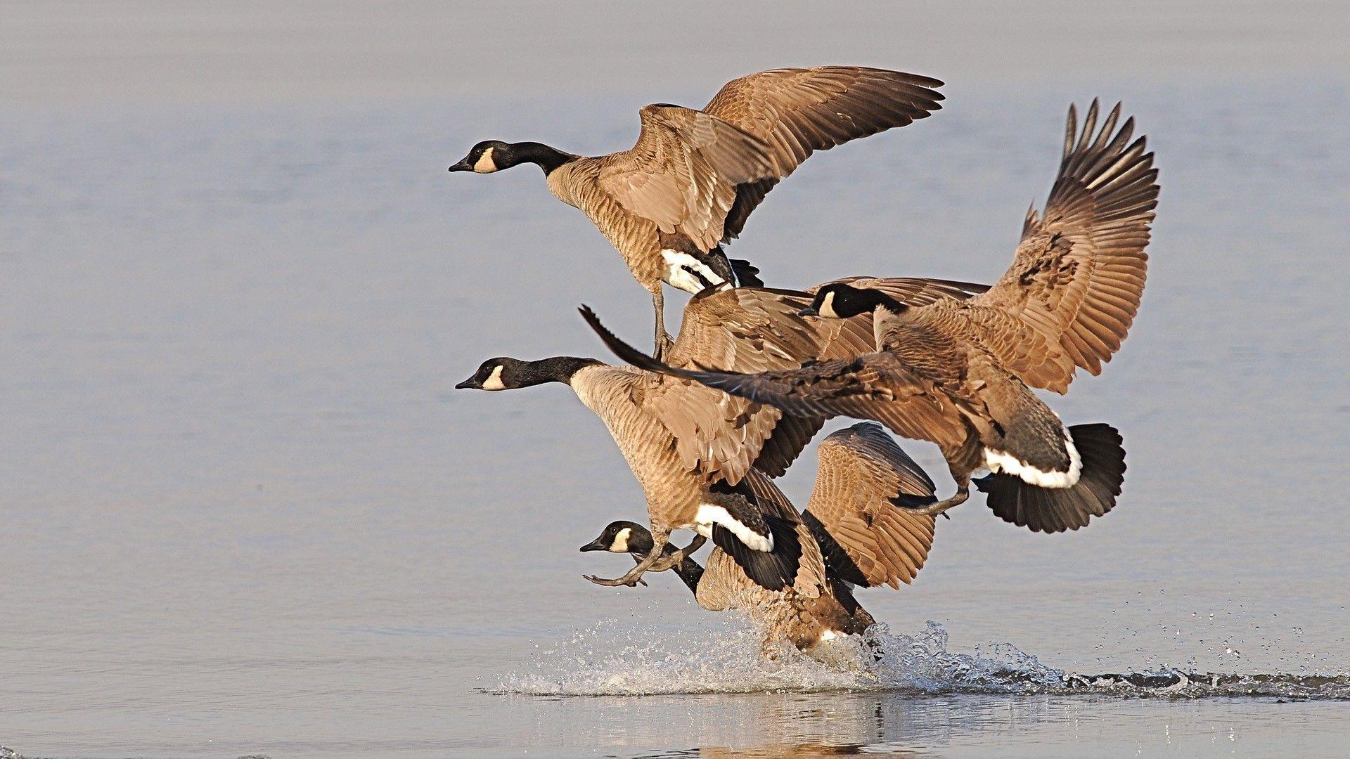 Waterfowl Hunting Wallpapers Wallpaperpulse 1280 800 45 Adorable