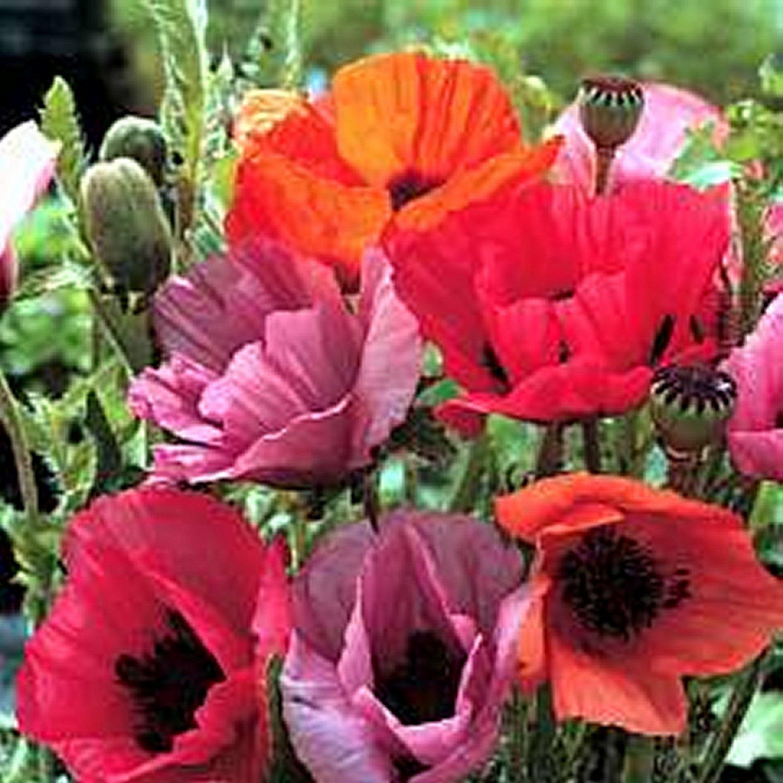 poppy flower seeds walmart