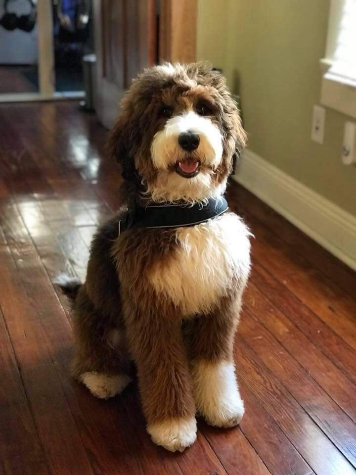 Pin By Emma Hutchinson On Bernedoodles Labradoodle Dogs Cute Dogs Dogs