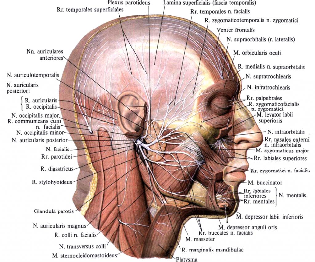 Beste Angewandte Anatomie Des Nervus Trigeminus Ideen - Anatomie Von ...