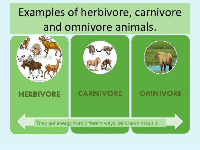 Example Of Carnivore