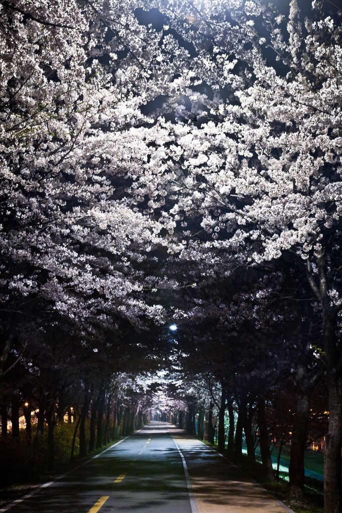 The tunnel of a cherry tree in full bloom #Japan