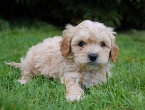Cavapoo Puppies Alabama Cute Baby Animals