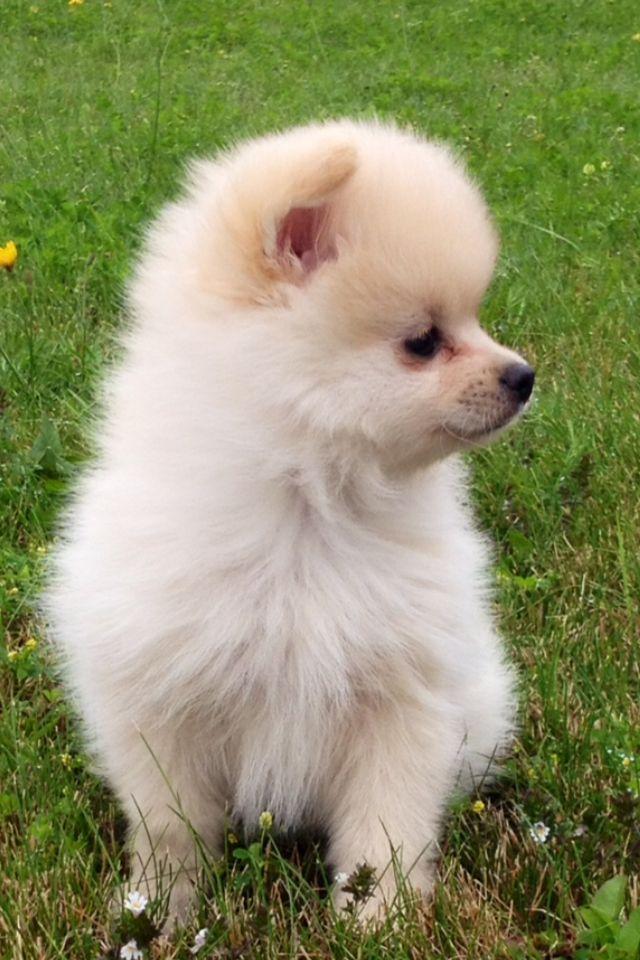 Lupo My Baby Pomeranian Dog So In Love Baby Pomeranian Pomeranian Dog Fluffy Animals