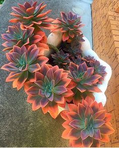 """8,583 Likes, 138 Comments - We Ship Succulents (@fairyblooms) on Instagram: """"✨ most beautiful Fred Ives I've ever laid on :@zeety"""""""