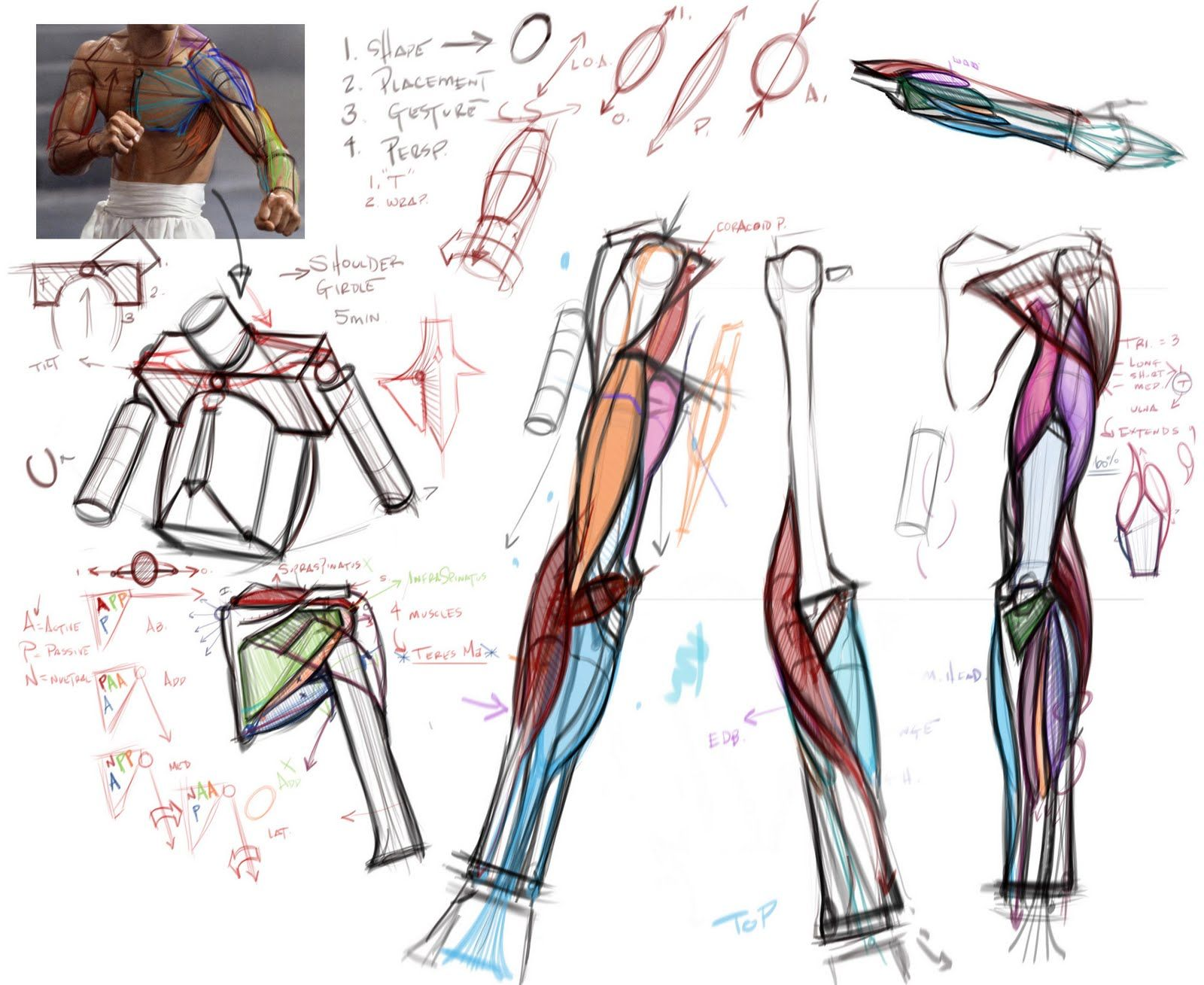figuredrawing.info news: Arm Lecture Notes 8/23 | anatomia ...